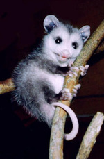 Opossum Vs Possum – images free download